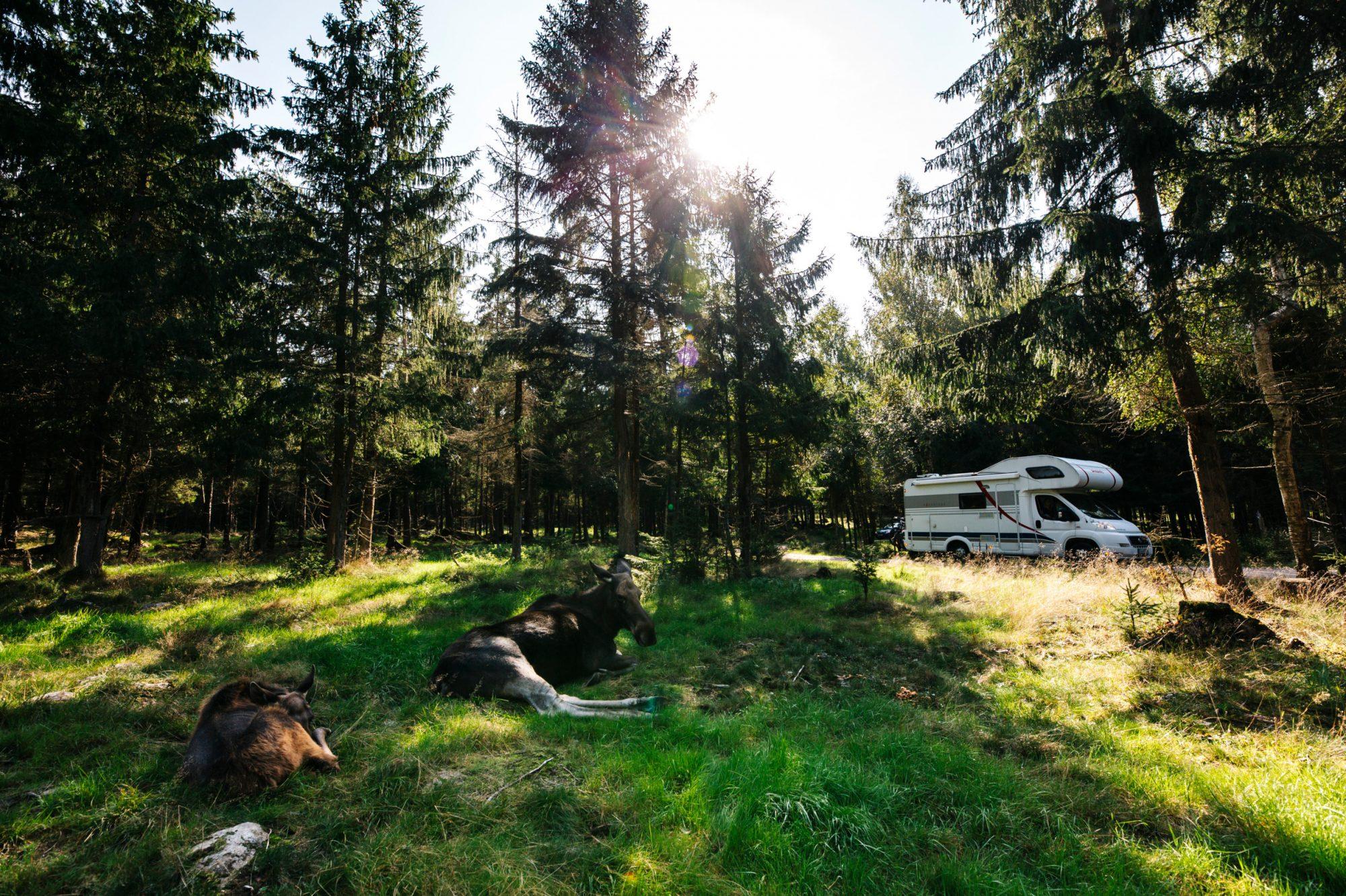 Elch Safari in Småland mit Wohnmobil